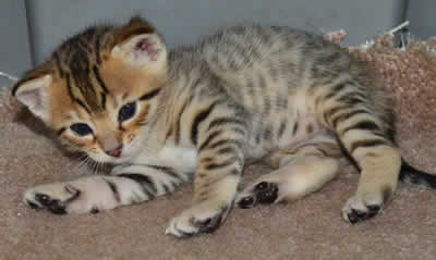 f6-savannah-kittens-da